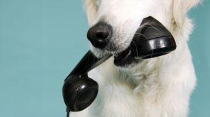 köpekler ve telefondaki ses, köpekler ses tanır mı, köpekler telefondan ses tanır mı